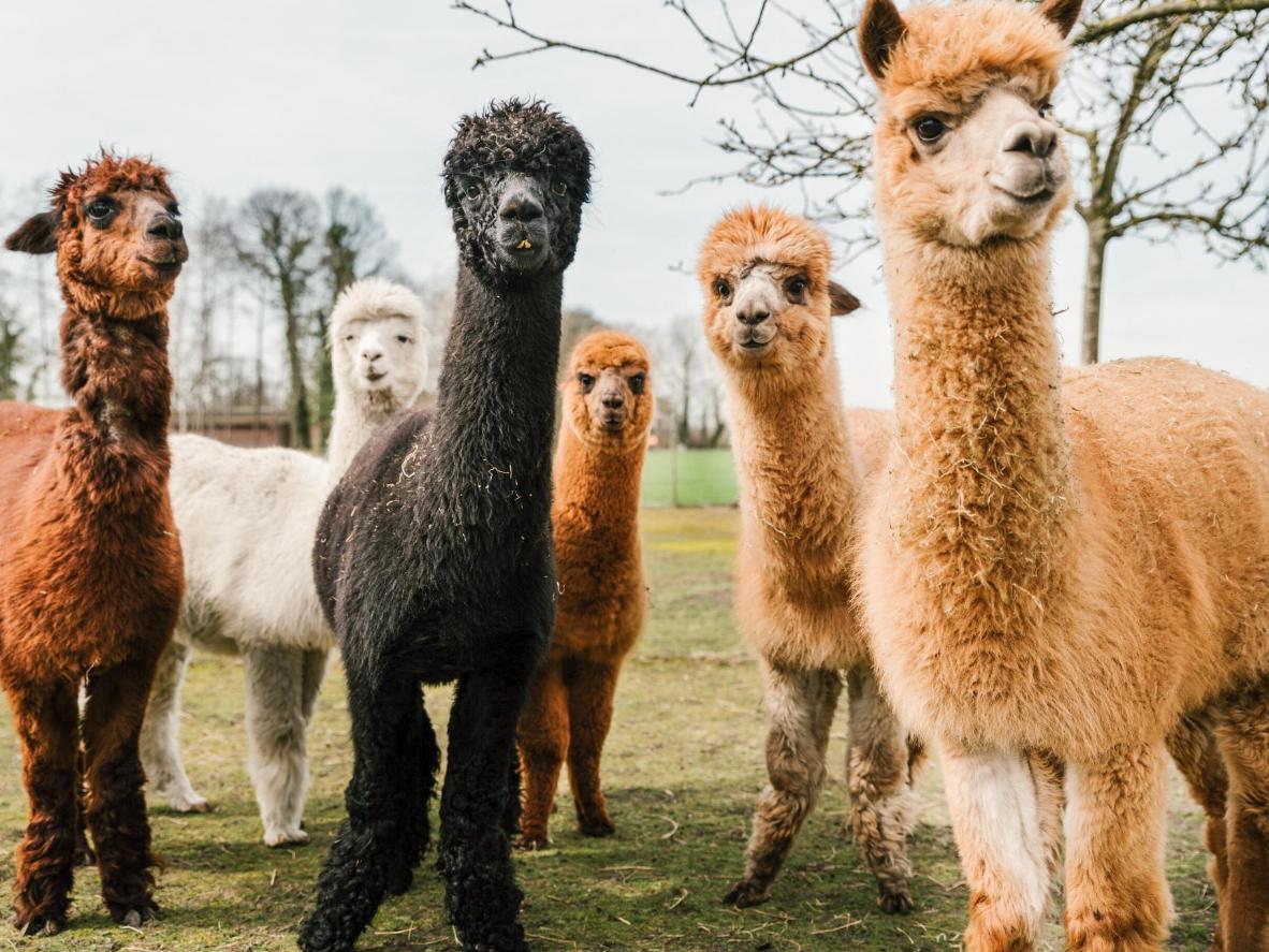 Tire uma foto com uma alpaca antes de saborear um prosecco